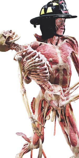 Bild: Körperwelten