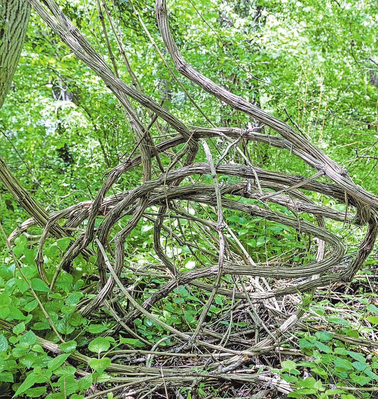 Wie ein dichter Dschungel aus Lianen wirkt das Waldgebiet auf der Nachtigalleninsel in Lauffen.