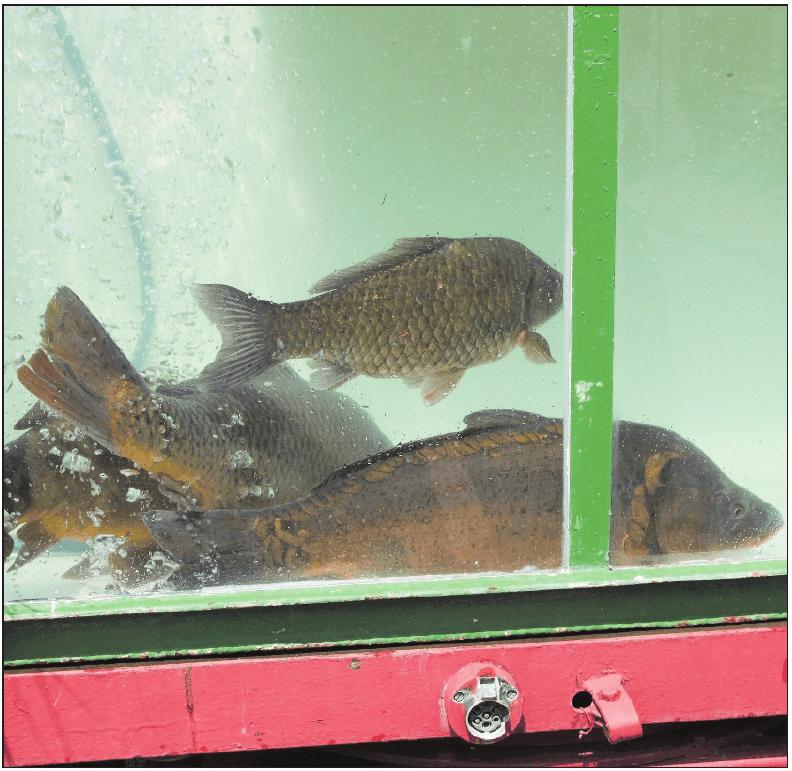 Sind auch in diesem Jahr wieder beim Karpfenfestumzug dabei: Karpfen, die in einem Bassin mitfahren und nach dem Programmpunkt wieder in ihr Gewässer zurückgebracht werden...