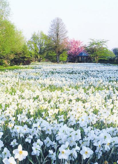 Die Narzissen-Wiese im Ellerhooper Arboretum bietet einen prachtvollen Anblick Foto: Arboretum