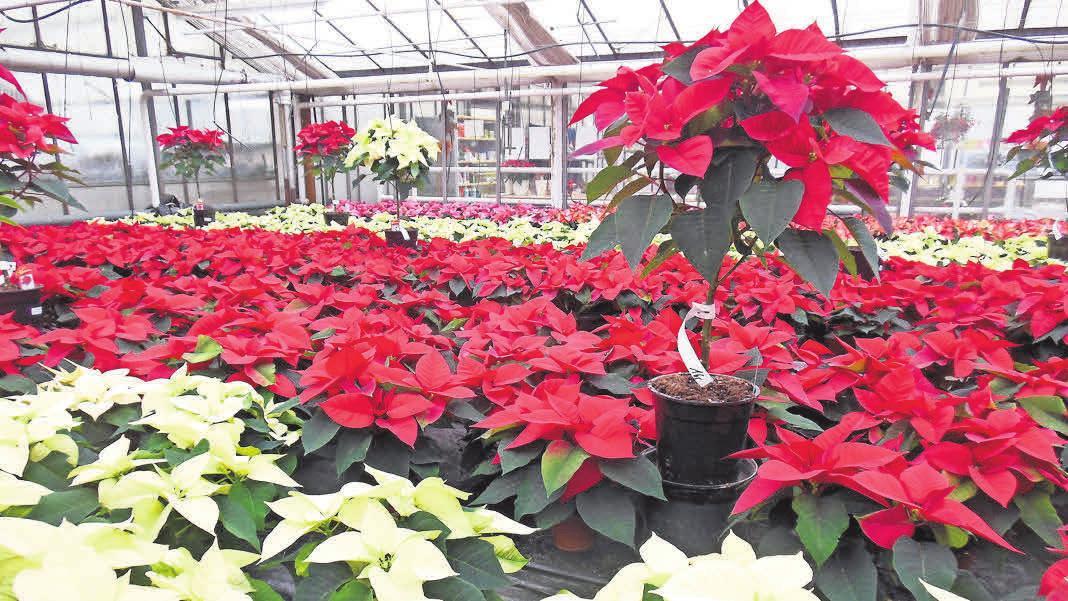 Rund 10 000 Pflanzen gedeihen in der Gärtnerei Fischer.