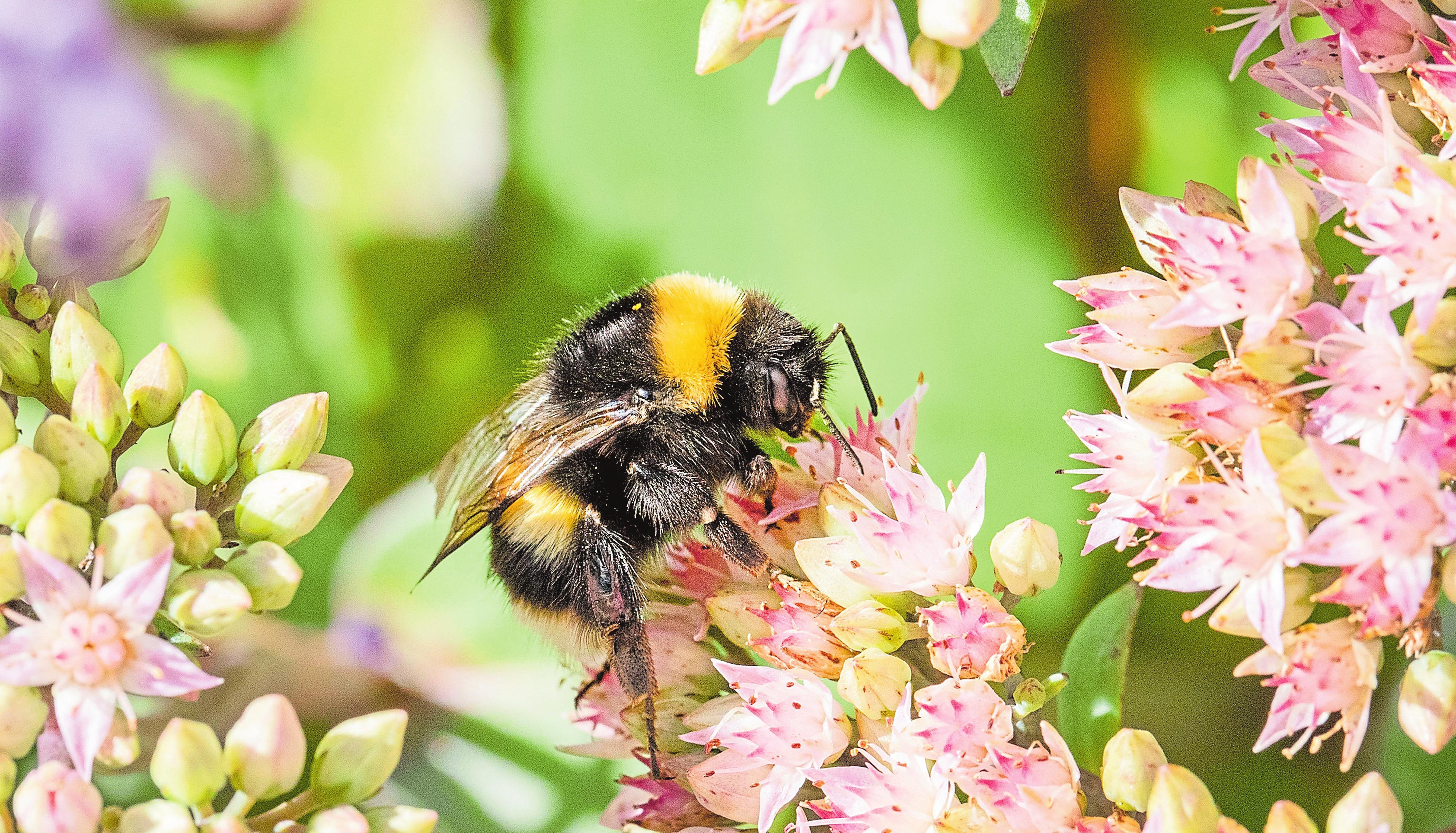 Neben dem Mangel an Nahrung werden den Bienen auch der Verlust von Nistplätzen und Rückzugsgebieten durch Biotopzerstörung sowie ein sorgloser Umgang mit Pestiziden zum Verhängnis. Fotos: Steve Eastwood