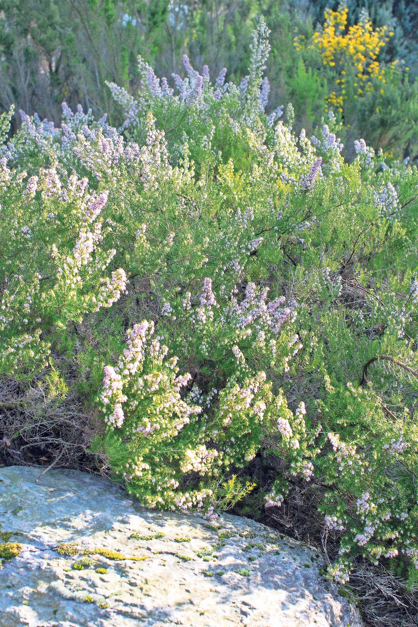Ein Tipp für die Bepflanzung im Herbst ist die aufrechte Baumheide (Erica arborea). Foto: Marion Nickig/dpa-tmn