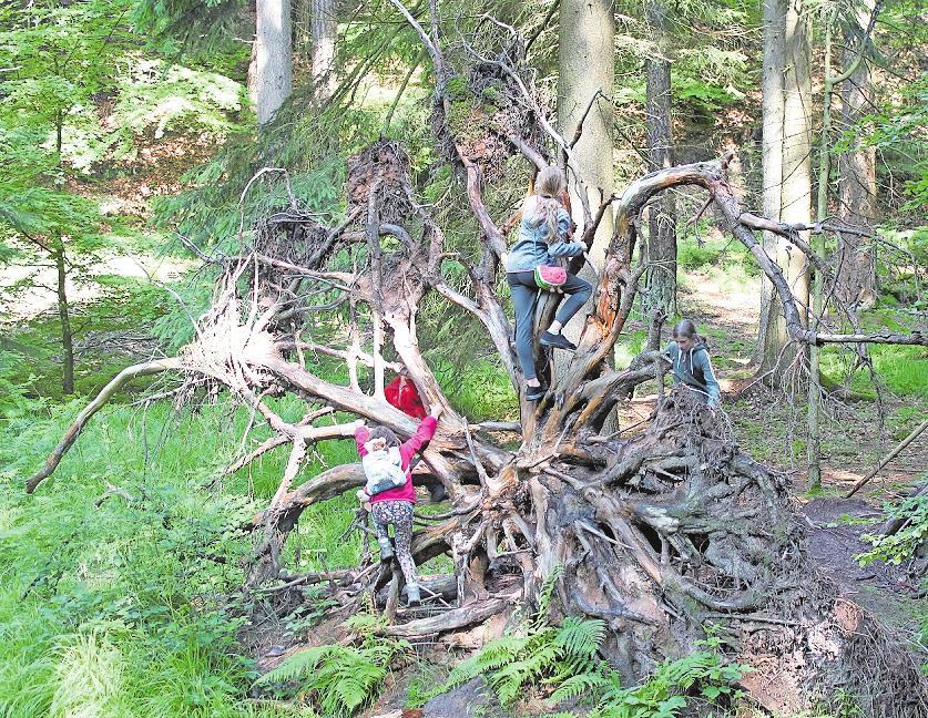 Imposante Flora am Wegesrand: Große Wurzeln laden zum Klettern ein. Foto: Ute Scherzinger