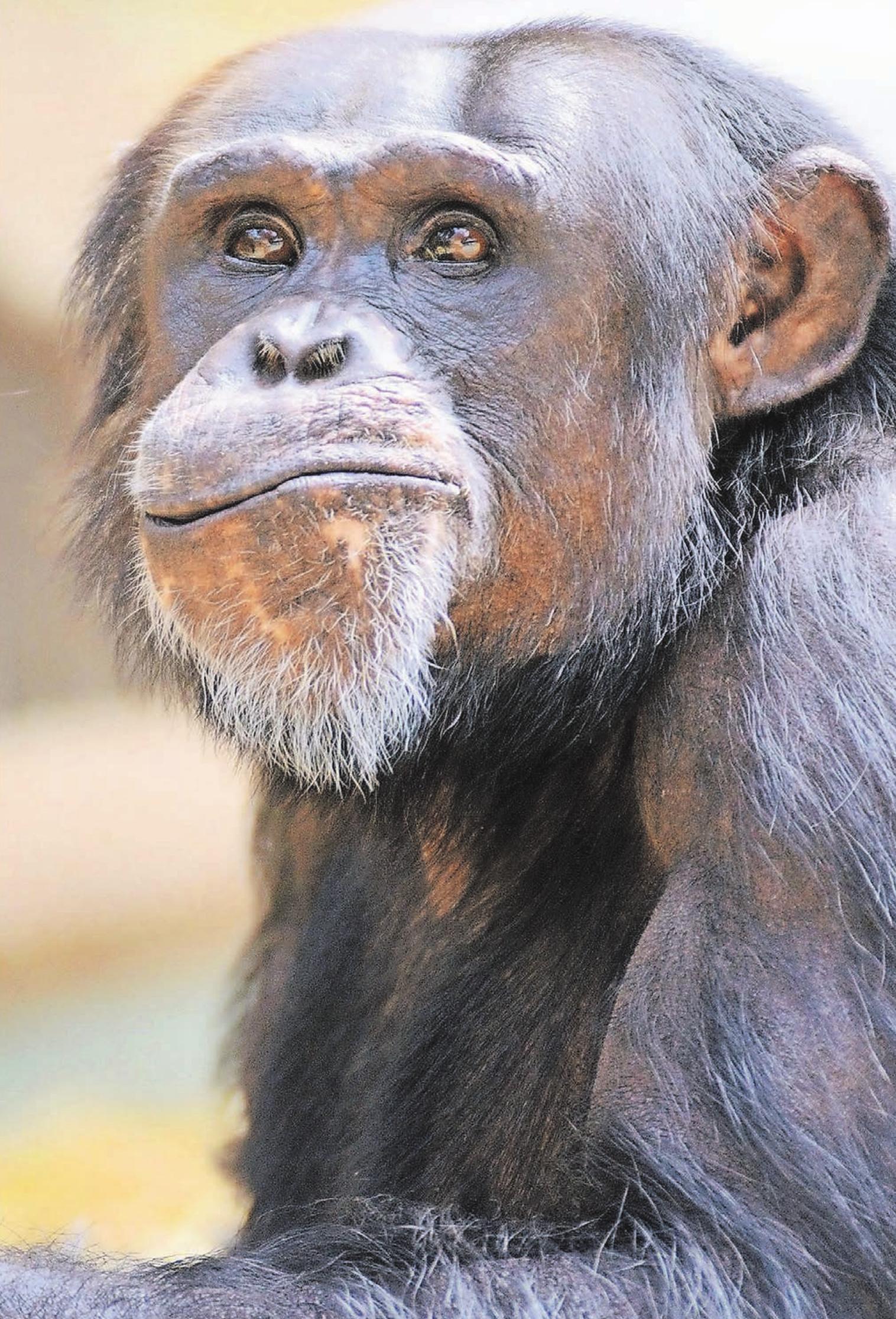 Seit der Eröffnung des europaweit beachteten Affentropenhauses 1975 ist die Haltung der drei Menschenaffenarten Westlicher Flachland-Gorilla, westafrikanischer Schimpanse und Borneo Orang-Utan ein Schwerpunkt des Krefelder Zoos.