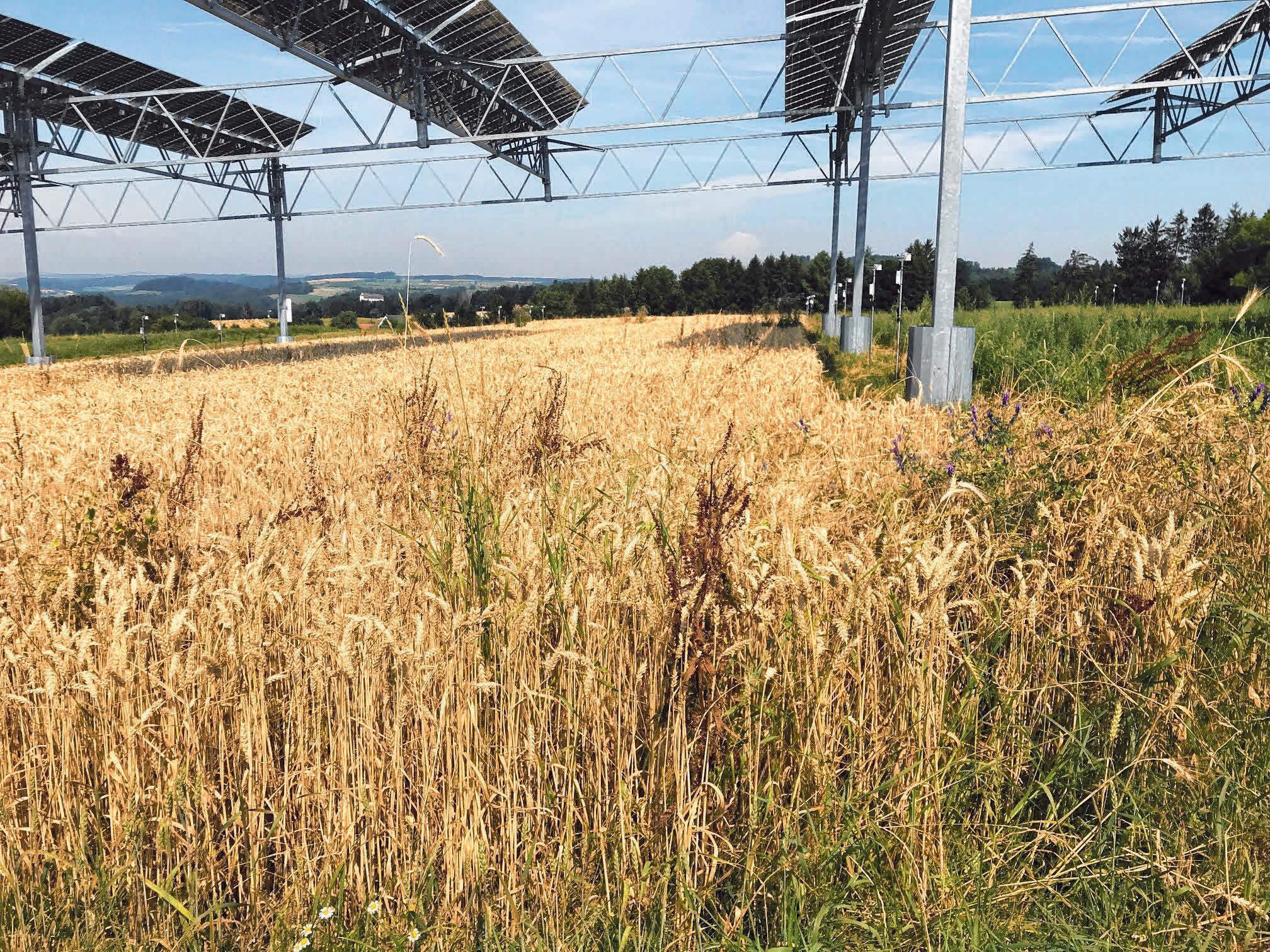 Win-win-Situation: Eine Photovoltaik-Anlage über einem Getreidefeld. FOTO: DPA