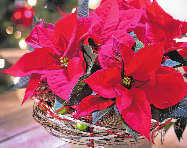Der Star der Weihnacht ist der rote Weihnachtsstern. FOTO:OBS/STARS OF EUROPE