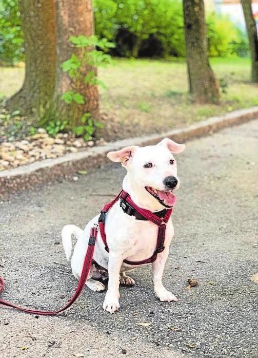 Buddy. Der Jack-Russell-Terrier ist sechs Jahre alt und kastriert. Er ist sehr aufmerksam, lernwillig, anhänglich und braucht Beschäftigung. Er benötigt ein Zuhause ohne Kinder. Wer sich gerne draußen bewegt und dafür einen treuen Begleiter sucht, findet in Buddy seinen besten treuen Freund.