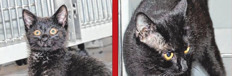 """Minietta und Minnie. Im April brachte Katzenmama """"Minnie"""" im Tierheim Augsburg sechs kleine schwarze Katzenbabys zur Welt. Alle Kitten sind gesund und munter und durften in geschütztem Rahmen bei ihrer Mutter groß werden. Mittlerweile ist die Rasselbande gut drei Monate alt und Mama """"Minnie"""" hat ihnen alles beigebracht, was eine Katze können muss. Die Welpen sind nun bereit, in ein neues, katzengemäßes Zuhause zu ziehen – doch niemand will sie. Nur mit Mühe und Not wurden bislang zwei der sechs Samtpfoten vermittelt. Der Grund ist ein uralter Aberglaube, der besagt, dass schwarze Katzen Unglück brächten. Das Tierheim Augsburg hofft nun darauf, dass es doch noch Menschen gibt, die das Gegenteil beweisen wollen und den kleinen Stubentigern ein Zuhause im Glück schenken. Minnietta, Minniester, Minnie-Pooh, Minnieapolis und auch andere schwarze Katzen können gerne auf Anfrage im Tierheim Augsburg besichtigt werden."""