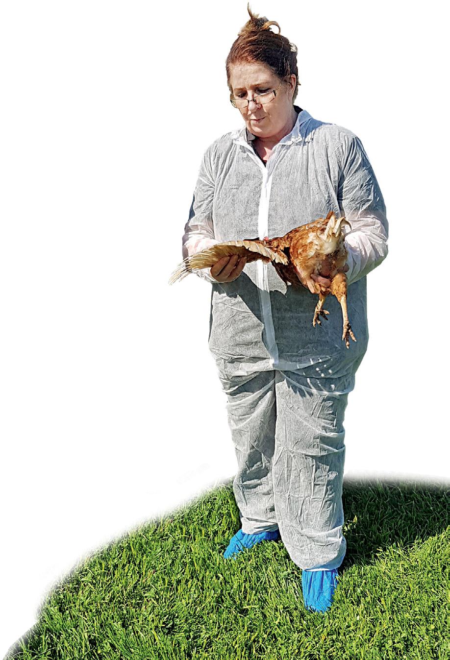 Man muss die Tiere in die Hand nehmen, schon die ersten fehlenden Federn sind ein Alarmzeichen.