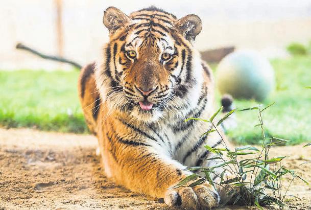 Tiger im Dschungelpalast.
