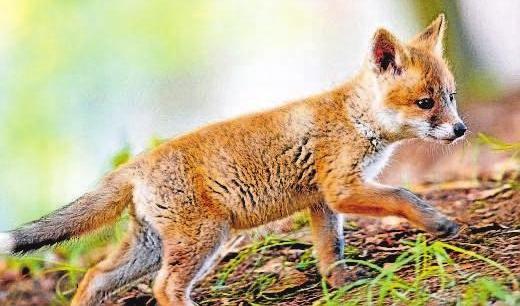 Der junge Rotfuchs auf Entdeckungstour ist ebenfalls in der Fotoausstellung zu sehen. Foto: Michael Mährlein