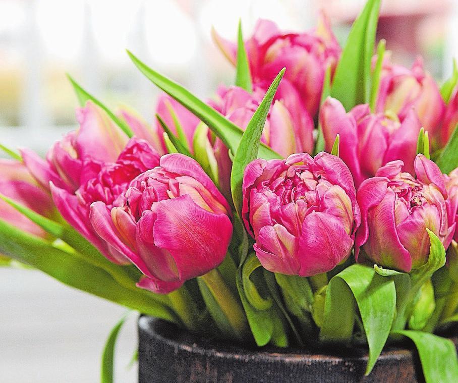Gefüllte Tulpen sind in Rosatönen sehr beliebt. Bild: PD