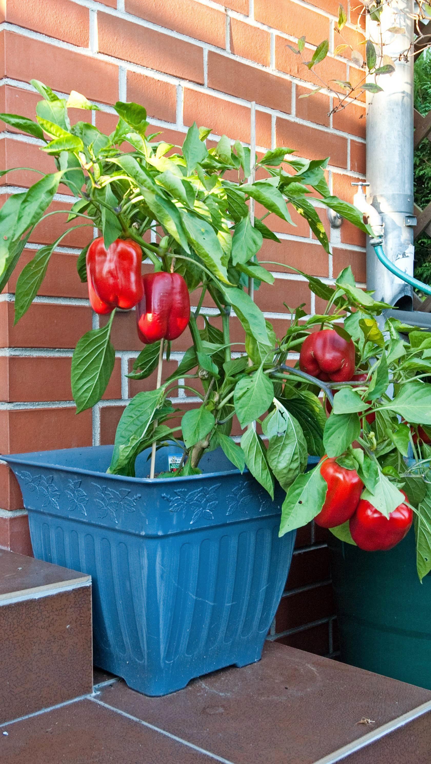 Tomaten und Paprika sind die Klassiker für Balkon und Terrasse.