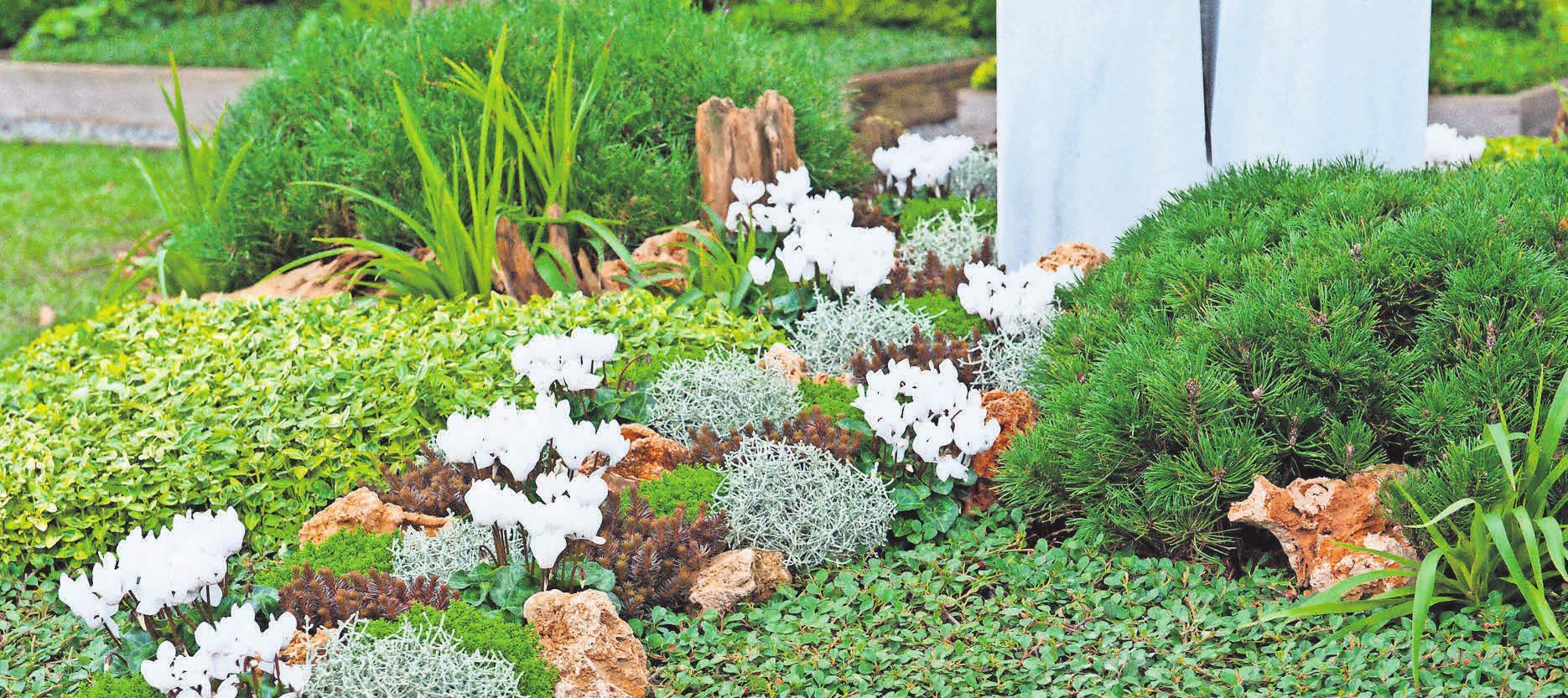 Das Alpenveilchen ist eine Herbstpflanze, die für einen stimmigen optischen Gesamteindruck des Grabes sorgt. Fotos (2): djd/ Gesellschaft deutscher Friedhofsgärtner/Margit Wild