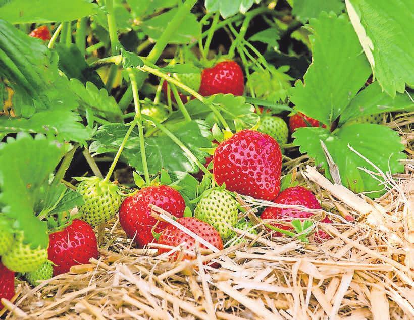 So sieht eine reife und leckere Erdbeere aus, bevor sie geerntet wird. Fotos (4): Sander