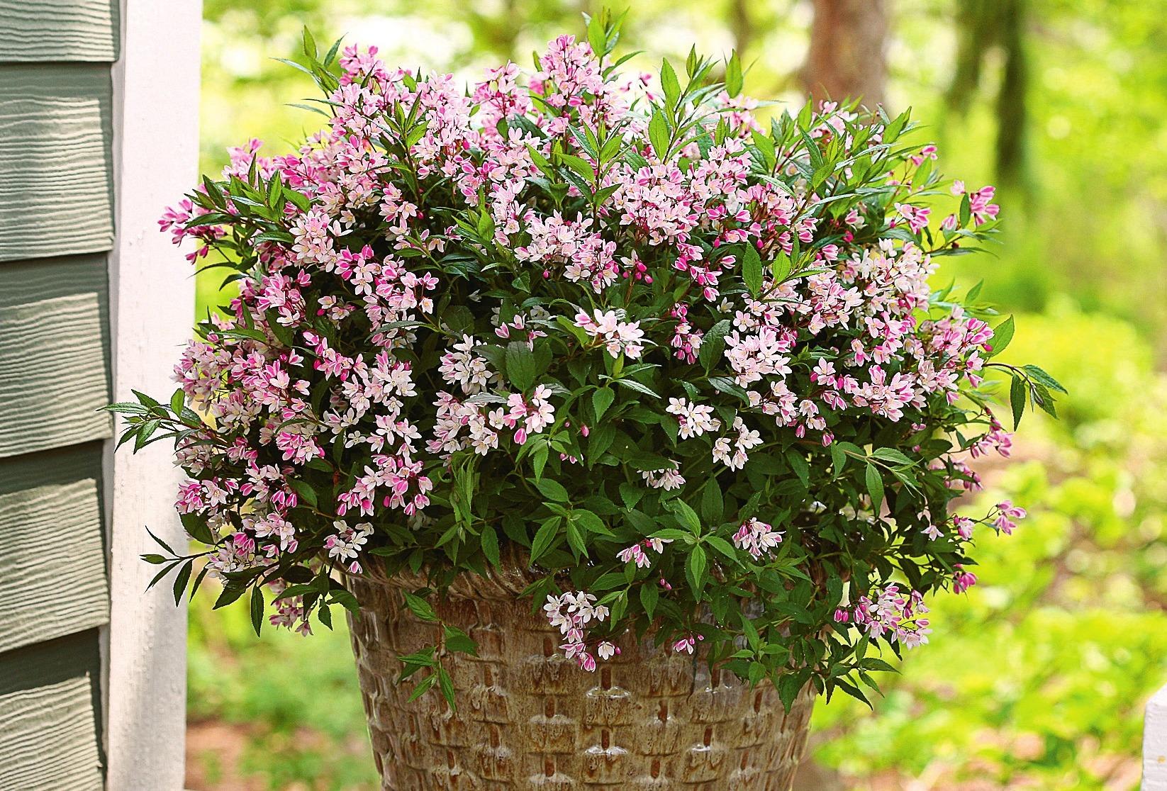 Für Gefäße: Deutzia 'Yuki Cherryblossom'. Foto: Spring Meadow Nursery