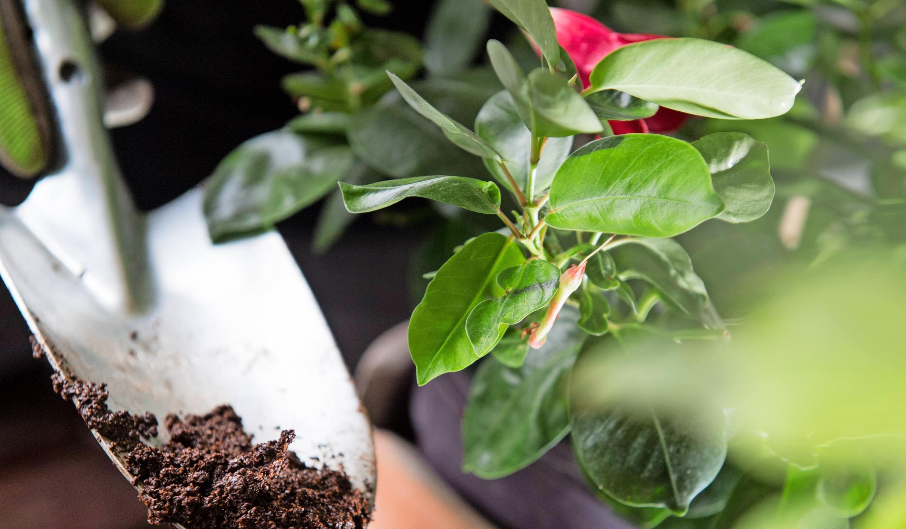 Kostenlos und äußerst effektiv: Kaffeesatz und eine Kaffee-Wassermischung sind ein prima Naturdünger, der gleichzeitig als Pflanzenschutz dient und zur Abwehr tierischer Schädlinge beiträgt. Foto: dp