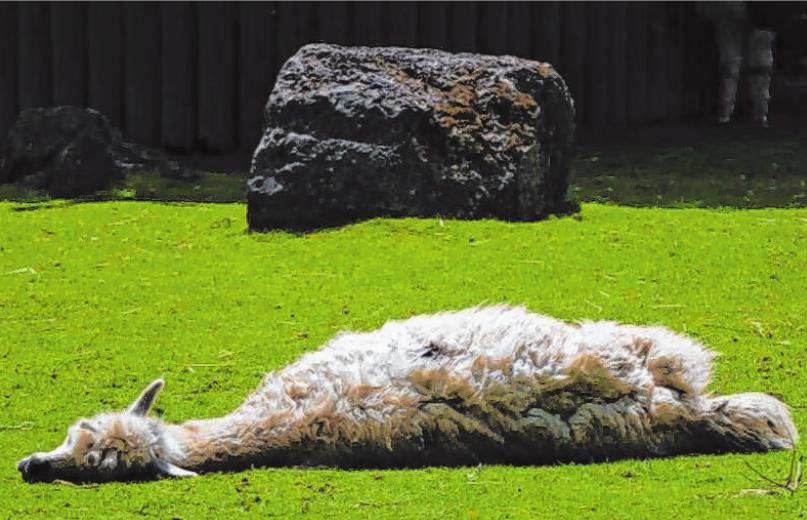 Ein Alpaka genießt die Wärme und lässt sich die Sonne auf's Fell scheinen. Foto: Leserreporterin Marianne Stenglein