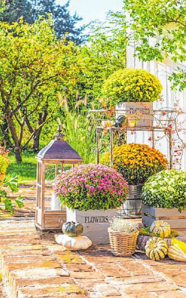 Die beliebten Chrysanthemen sorgen im Herbst für farbenfrohe Akzente. Foto: Uwe Sauer