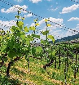 Die Ernährungswirtschaft ist nicht zuletzt durch die bekannte Weinregion Saale-Unstrut ein starkes Pfund, mit dem der Kreis auch in Zukunft wuchern kann. FOTO: TORSTEN BIEL