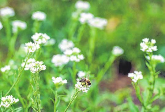 Eine Wildblumenwiese lockt Bienen und andere Insekten an. Je nach Bodenbeschaffenheit kommen verschiedene Samenmischungen in Betracht. Foto: Gregor Fisch
