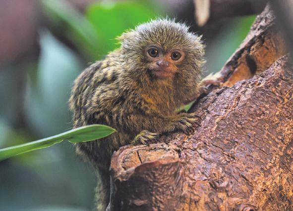 Die 14 Zentimeter großen Zwergseidenäffchen sind die kleinsten Affen des Parks. Foto: Werner Scheurer