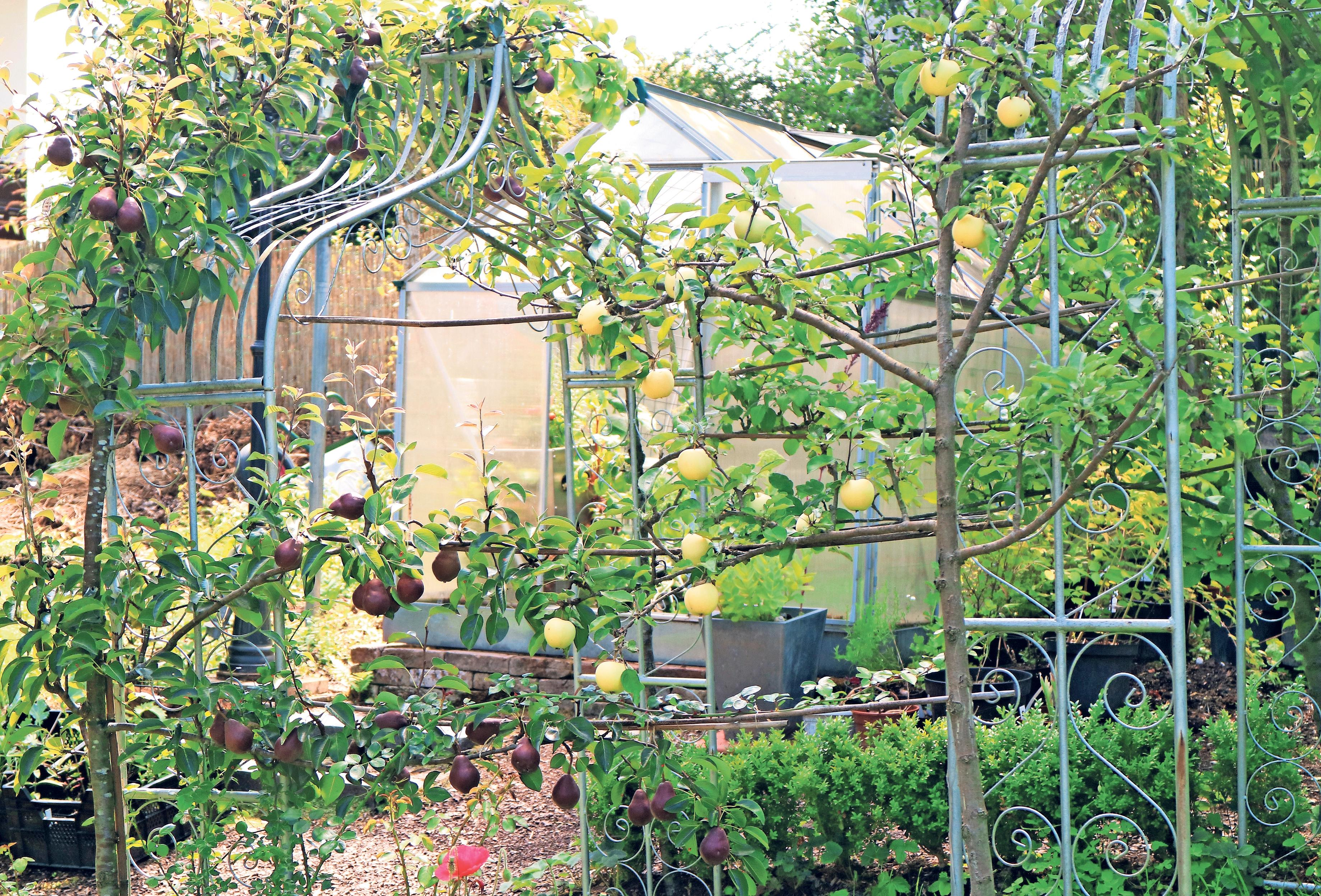 Manche Obstbäume haben zweierlei Zweck im kleinen Garten: Neben der Fruchtbildung begrünen sie auch Spaliere.