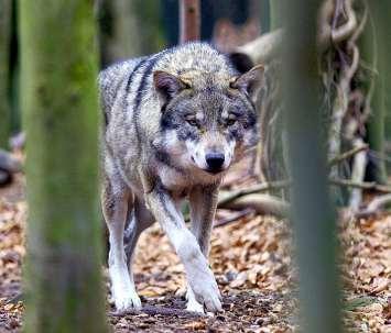 In der Natur sind Wölfe kaum zu beobachten, im Tierpark Thale haben Wildtierfreunde dagegen mehr Glück. FOTO: ZB