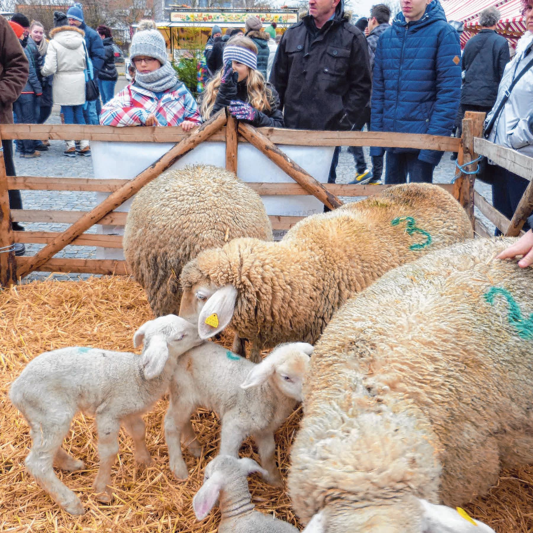 Ziemlich niedlich: Die Schafe der Schäferei Stock erfreuen die Besucher.
