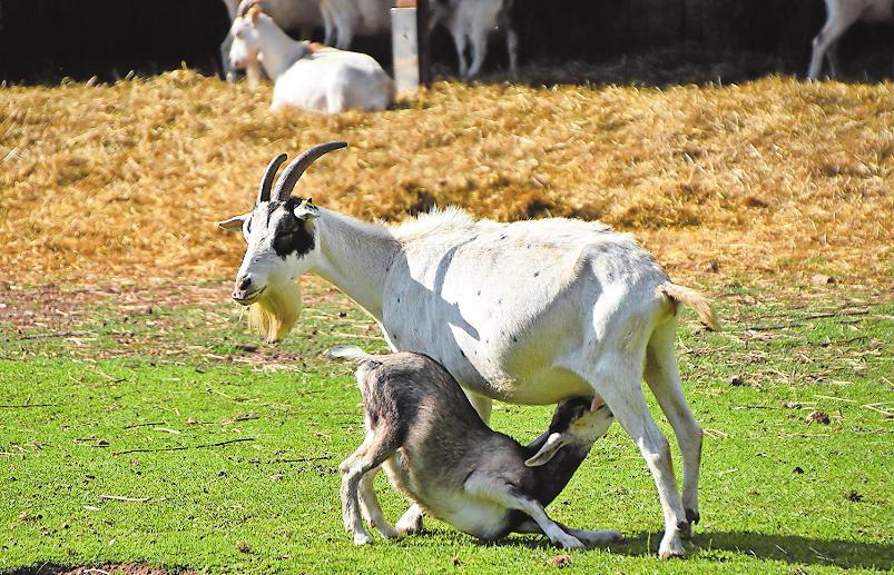 Freuen sich über Sonne: Ziegen im Wildpark Südliche Weinstraße. Foto: Wild- und Wanderpark Südliche Weinstraße/frei