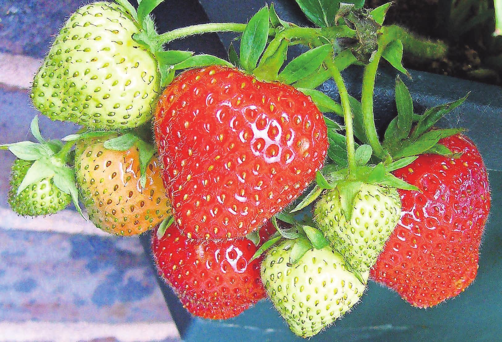 Erdbeeren können problemlos angepflanzt werden. Foto: Pixabay