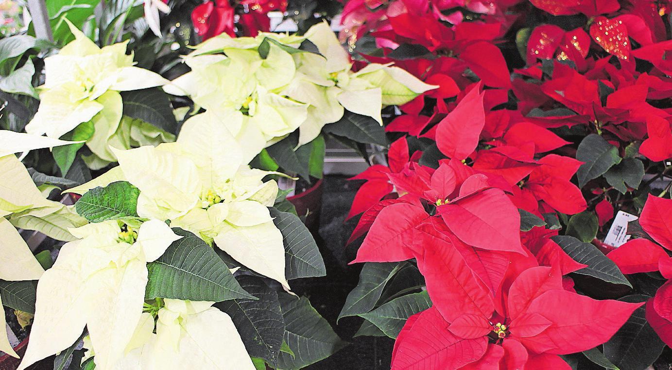 Die wunderbaren Weihnachtssterne sind in der Landi erhältlich. Bild: PD