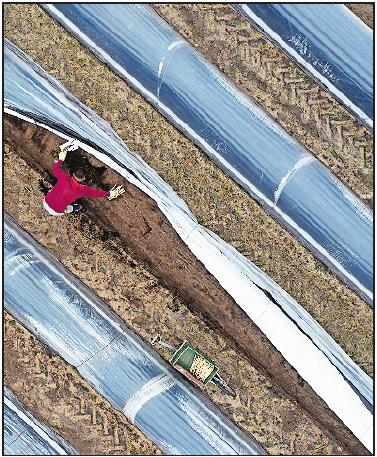 Der Einsatz schwarzer Folie beschleunigen den Erntevorsprung der Pfälzer Spargelerzeuger nochmals entscheidend. | Foto: dpa