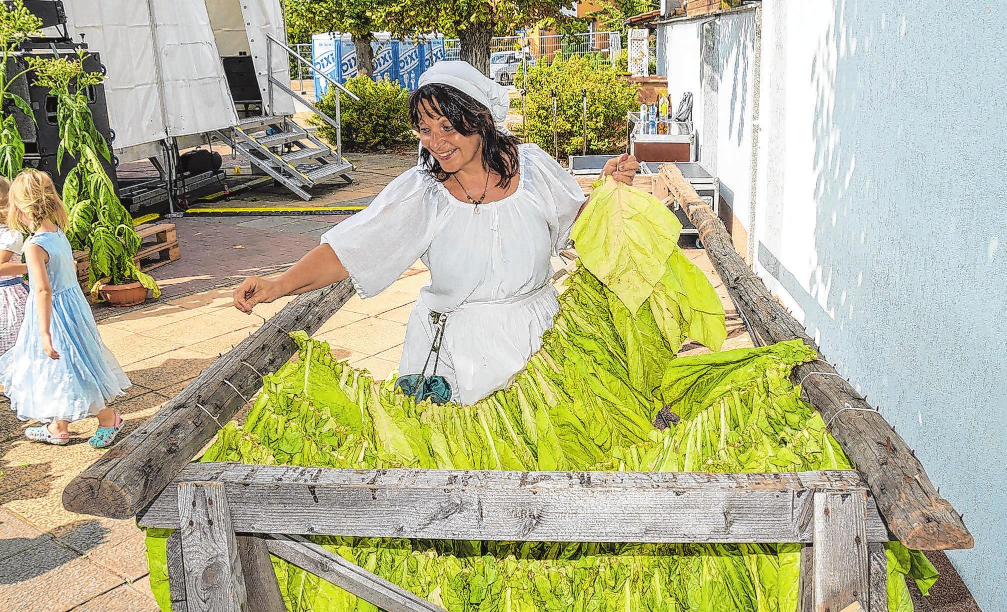 Wie wird's gemacht: Die althergebrachte Art, die Tabakpflanze zu behandeln, wird vor Ort anschaulich erklärt. Die frühere Handarbeit wird heute maschinell erledigt. Foto: Ulrich Bischoff