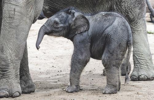 Der jüngste Elefant der Anlage wurde Leev Ma Rie getauft. Bild: W. Scheurer