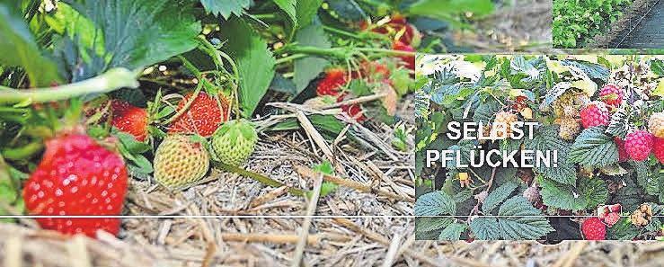Frischer geht es nicht: In Wendenborstel gibt es Erdbeeren und Himbeeren zum Selbstpflücken.