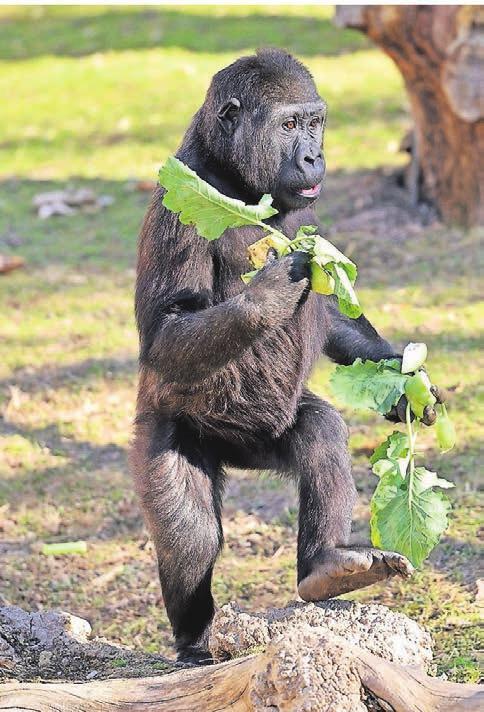Gorilla Pepe macht es vor. Essen to go gibt es auch im GorillaGarten. Zusammen mit seinen Brüdern Tambo und Bobóto mischt er das Familienleben ganz schön auf.