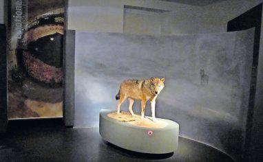 Verkannter Wolf