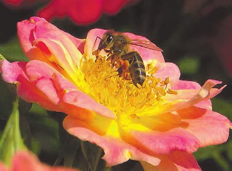 Nur ungefüllte und halbgefüllte Blüten bieten Honig- und Wildbienen freien Zugang zu den Staubgefäßen und damit zu den Pollen. Foto:djd/www.rosen-tantau.com/ Stefan Schulze