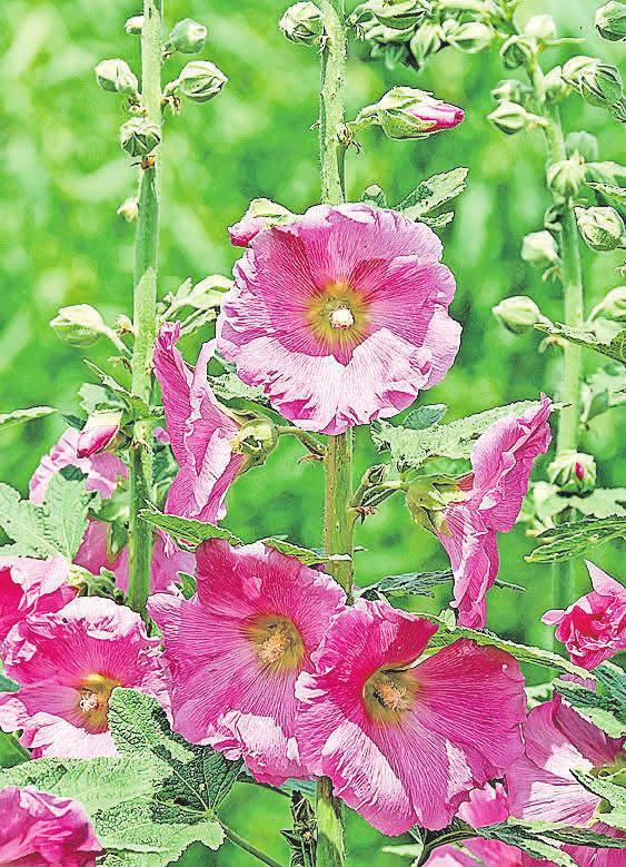 Stockrosen gehören ebenfalls zu den Stauden und erfreuen jährlich mit ihrer Blütenpracht. Foto: pixabay.com