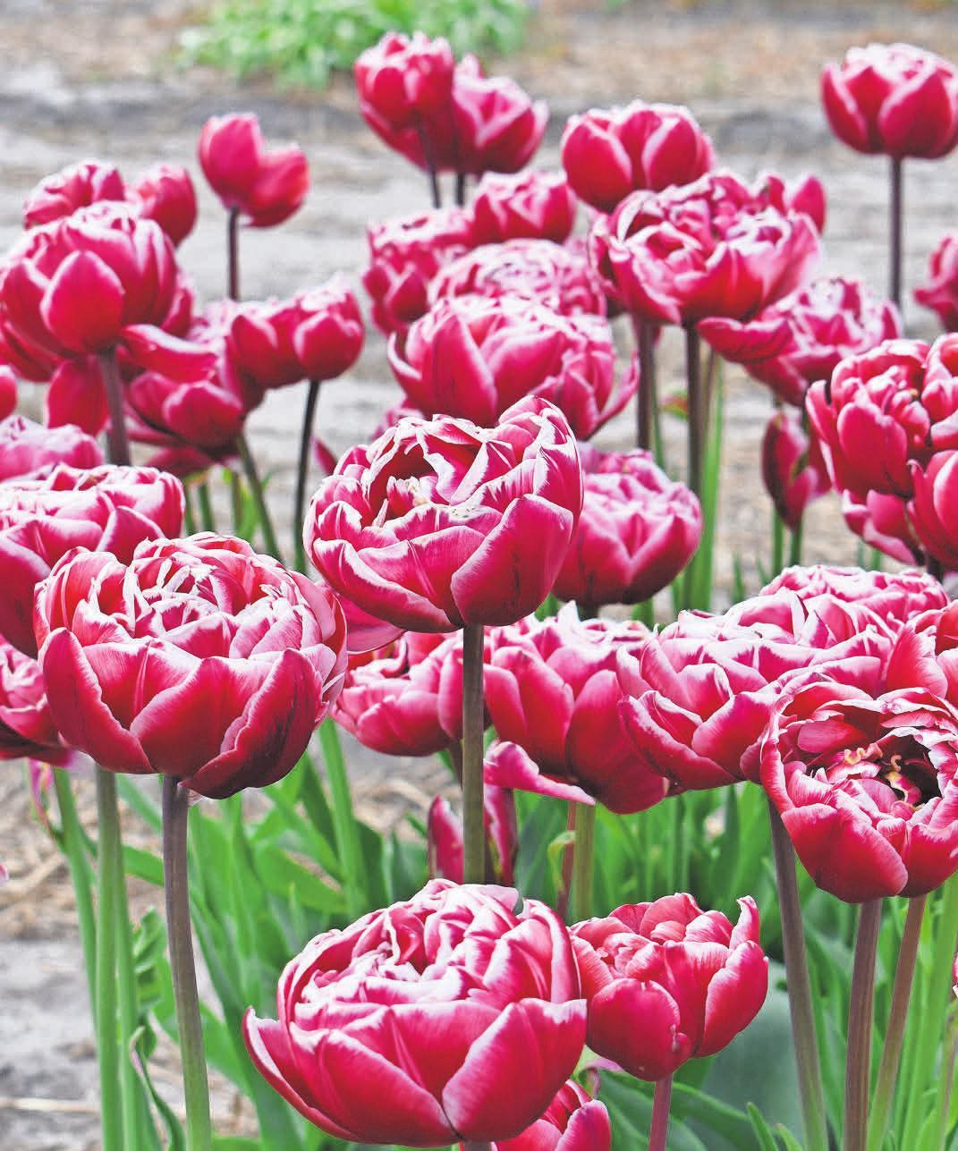 Tulpen sind Frühblüher und können im Frühjahr den Platz der Dahlien einnehmen. fotos: Fluwel (2)/dpa-tmn