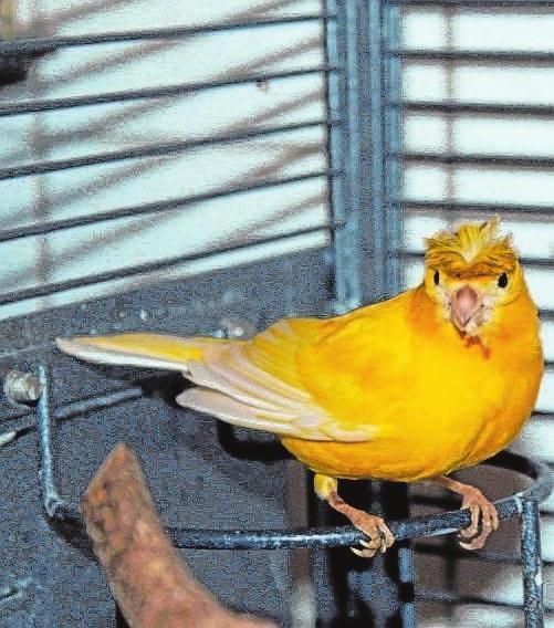 Manfred. Der Kanarienvogel wurde in Augsburg-Haunstetten gefunden. Der verträgliche Hahn trägt keinen Ring und wird anscheinend nicht vermisst. Nun sucht das Tierheim Augsburg für ihn ein neues Zuhause bei Artgenossen in einer großen Voliere.
