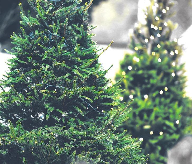Erst nach langer Diskussion in der Baumschule ausgewählt und nach dem Fest weggeschmissen: Der Weihnachtsbaum wird abgeholt. Symbolfoto