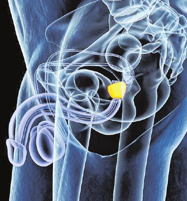 Die Prostata liegt unter der Harnblase und umschließt die Harnröhre wie ein Ring. FOTO: GETTY IMAGES