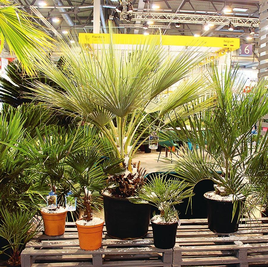 Eine breite Auswahl unterschiedlichster Palmen lockt zum Kauf.