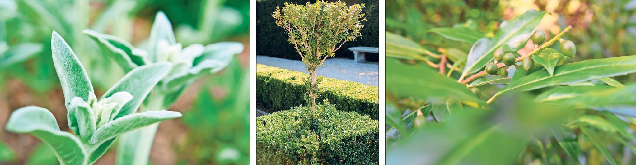 Nicht jeder Immergrüne ist wirklich grün: Der Wollziest (links) zum Beispiel ist silbrig-grün. Immergrüne Hecken sind ordnende Linien im Garten – sie bilden die Grundstruktur der Gartengestaltung. Ein Klassiker unter den beliebten Immergrünen ist die Lorbeerkirsche (rechts). Fotos: Andrea Warnecke/dpa-tmn