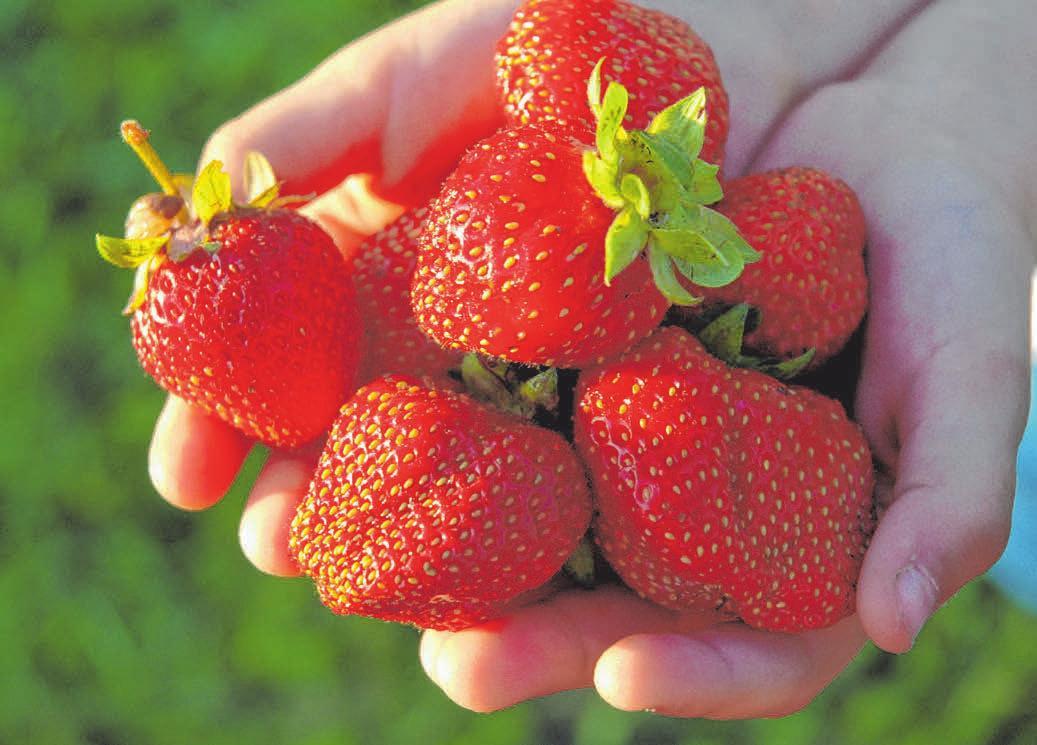Bis August wachsen Erdbeeren in der Region. FOTOS: CB