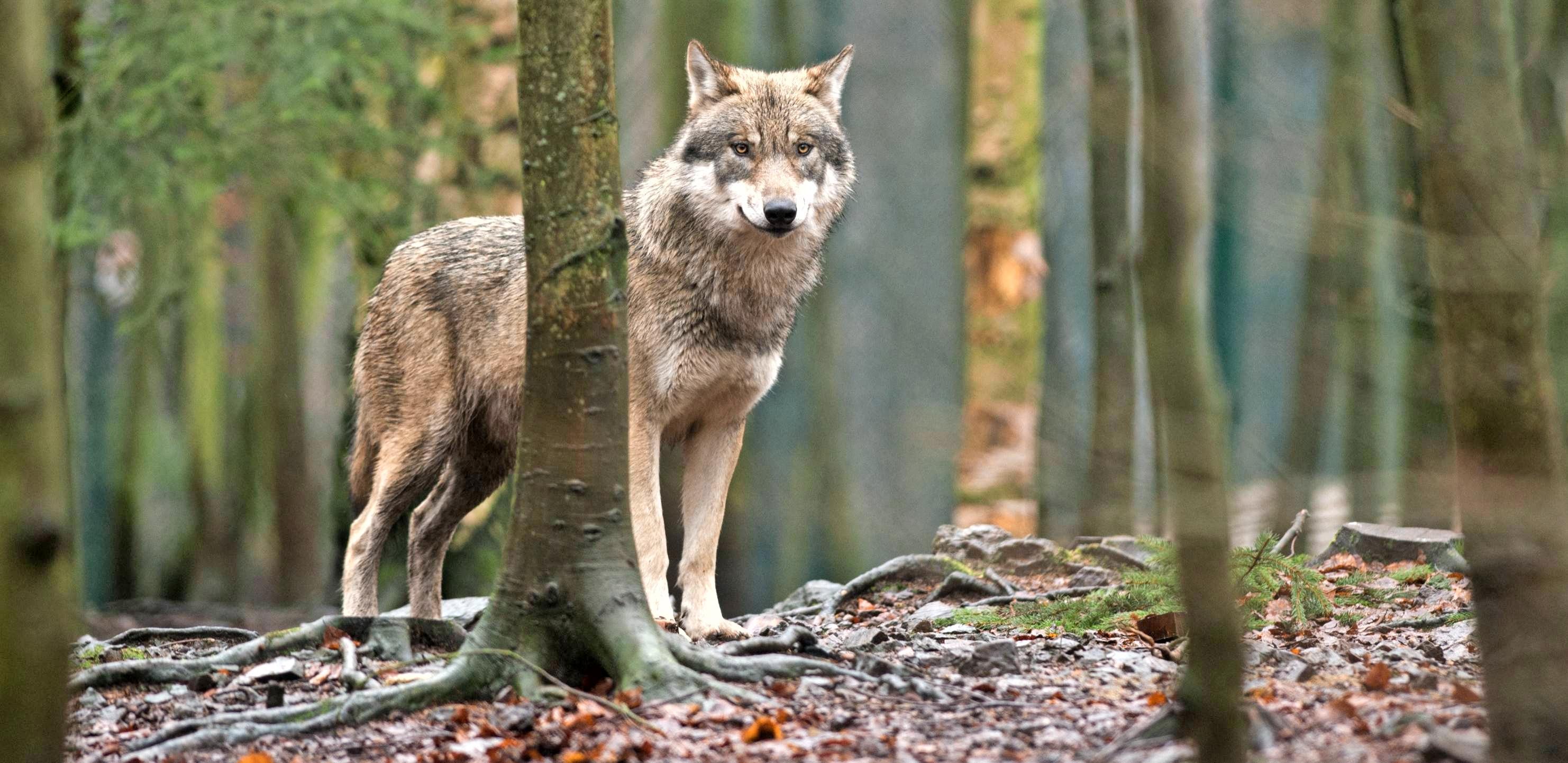 Genial gescheitert sind die Rappemer Wolfsstecher: Sie erstachen im 30-jährigen Krieg bei ihrer Jagd nach den Raubzüge treibenden Wölfen den Esel ihres Müllers. Foto: dpa