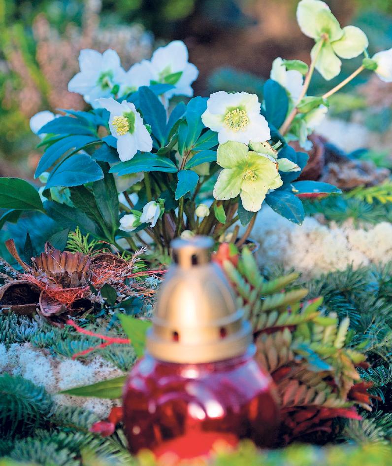Die Christrose ist ein schöner Akzent auf Gräbern in der Winterzeit. Fotos: Andrea Warnecke/dpa-tmn